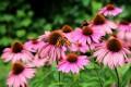 L'Echinacea: cos'è e a cosa serve